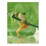 Rana arbórea tarjetas postales