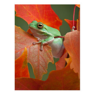 Rana arbórea verde en caída postal