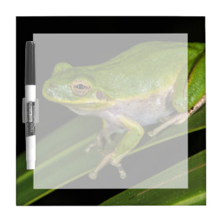 Rana arbórea verde (Hyla cinerea) 2 Pizarra