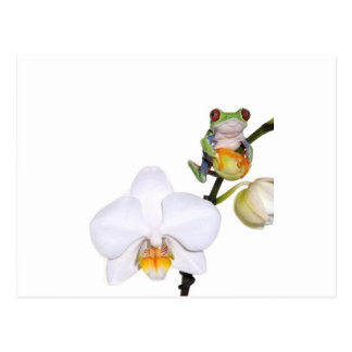rana arbórea yed rojo en orquídea tarjeta postal