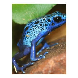 "rana azul de la flecha del veneno folleto 8.5"" x 11"""