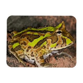 Rana brasileña del cuerno cornuta de Ceratophrys Iman De Vinilo