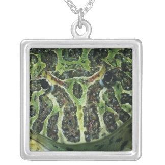 Rana de cuernos adornada, (ornata de Ceratophrys), Grimpolas Personalizadas