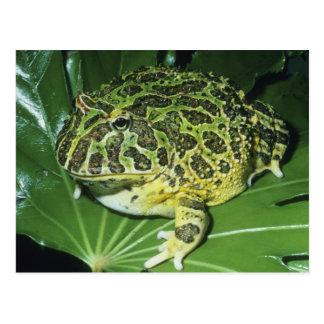 Rana de cuernos adornada, (ornata de Ceratophrys), Tarjeta Postal