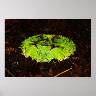 Rana de cuernos Ceratophrys Cornuta de Suriname Póster
