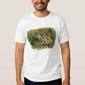 Rana de leopardo del Rio Grande, berlandieri del Camisas