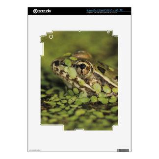 Rana de leopardo del Rio Grande, berlandieri del iPad 3 Pegatinas Skins