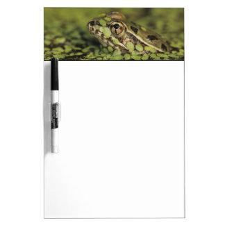 Rana de leopardo del Rio Grande, berlandieri del Pizarras Blancas De Calidad