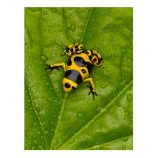 Rana del dardo del veneno del abejorro tarjetas postales