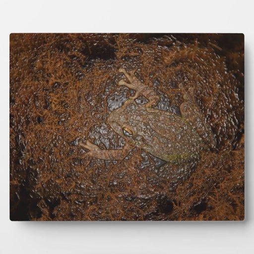rana en mirada grabada en relieve musgo placas de madera