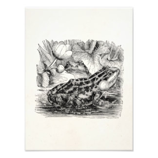 Rana europea comestible del vintage - plantilla impresiones fotograficas