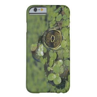 Rana mugidora, catesbeiana del Rana, adulto en Funda Barely There iPhone 6