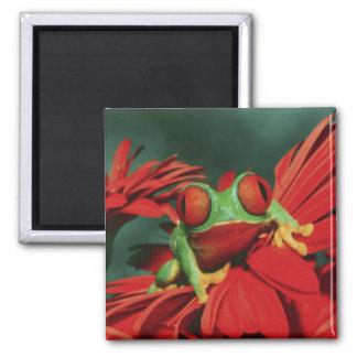 Rana Rojo-Observada brillante Imán Cuadrado