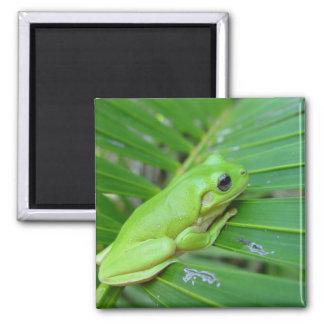 Rana sincera verde linda en la hoja de la palma imán cuadrado