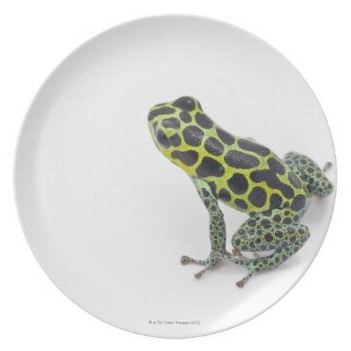Rana verde manchada negro del dardo del veneno plato de cena