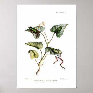Ranas arbóreas poster