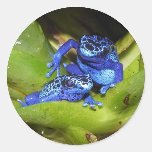 Ranas azules del dardo del veneno en la hoja 1 pegatina redonda
