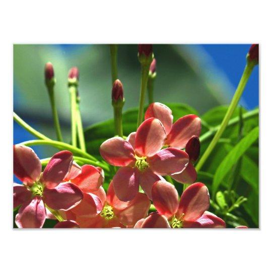 Rangoon Creeper blossoms Photo Print