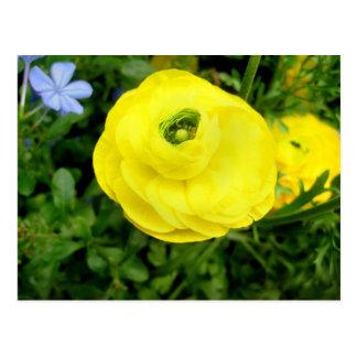 Ranúnculo amarillo postal