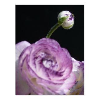 Ranunculus asiaticus White Persian buttercup II Postcard