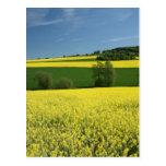 Rapeseed field near Bavenhausen, Germany Post Cards