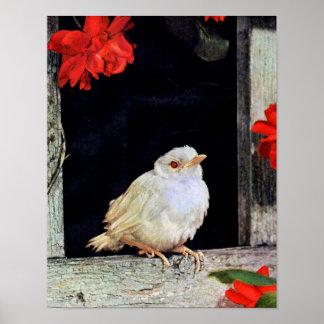 RARE albino robin bird Poster