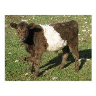 Rare Dun Belted Galloway Calf Post Card