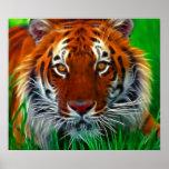 Rare Sumatran Tiger from Indonesia Poster