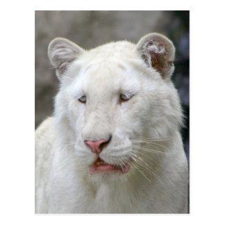 Rare White Tiger Postcard