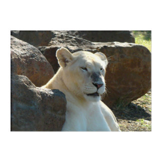 Rare White Tigress Acrylic Print