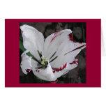 Rasgones blancos del tulipán tarjeta de felicitación