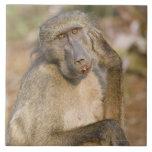 Rasguño del babuino de Chacma (ursinus del Papio)  Azulejo Cuadrado Grande