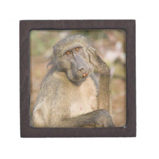 Rasguño del babuino de Chacma (ursinus del Papio)  Cajas De Regalo De Calidad