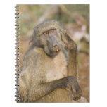 Rasguño del babuino de Chacma (ursinus del Papio) Libretas Espirales