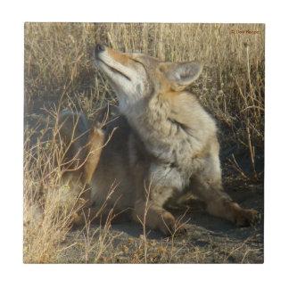Rasguño del coyote R0017 Azulejo Cuadrado Pequeño
