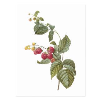 raspberry(Rubus sp.) by Redouté Postcard