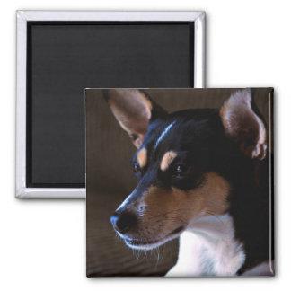 Rat Terrier 2, Color, Square Magnet