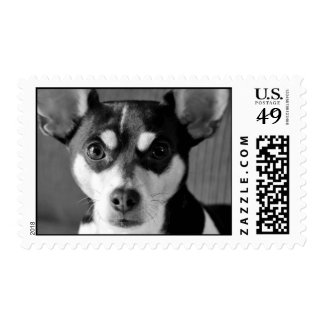 Rat Terrier Black and White Postage Stamp