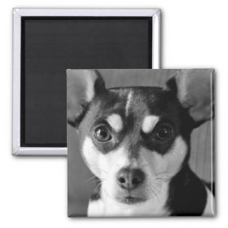 Rat Terrier Dog Black and White 2 Inch Square Magnet
