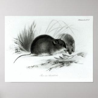 Ratón, Tierra del Fuego, Suramérica c.1832-36 Póster