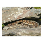 Rattlesnake at Shenandoah National Park Photo Print