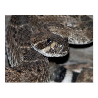 Rattlesnake Close-up Shot. Postcard