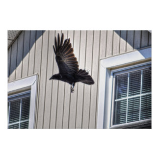 Raven Flying by House Wildlife Photographic Art Poster