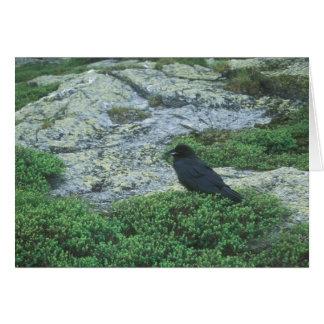 Raven in alpine zone, Mount Mansfield VT Card
