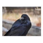 Raven of Yellowstone Postcard