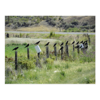 ravins sitting on fence postcard