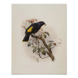 Rawnsleyi de Ptilorhynchus - el Glorieta-pájaro de Poster