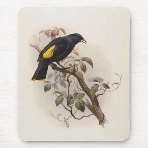 Rawnsleyi de Ptilorhynchus - el Glorieta-pájaro de Tapete De Ratones