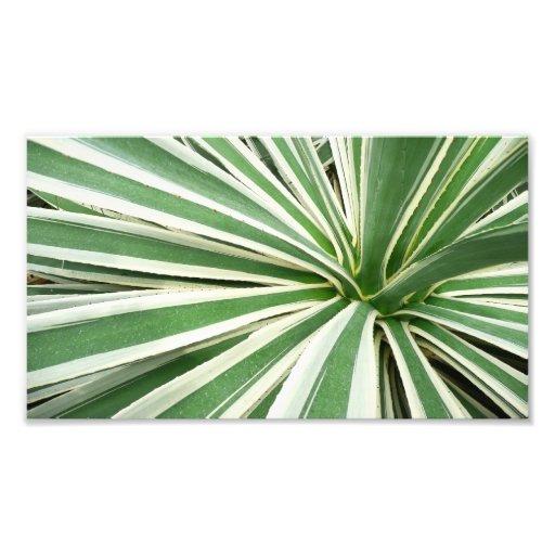 Raya verde y blanca de la planta del agavo impresiones fotograficas