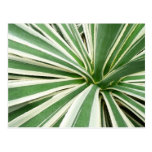 Raya verde y blanca de la planta del agavo postal